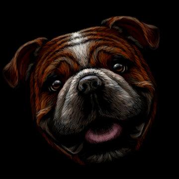 Bulldog. Color, graphic portrait of an English bulldog on a black background. Digital vector graphics.