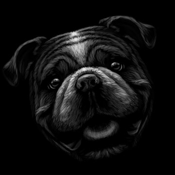 The bulldog. Black and white, graphic portrait of an English bulldog on a black background. Digital vector graphics.