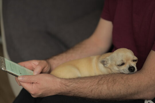 Closeup portrait of small funny beige mini chihuahua dog, puppy sleeping on handen, man sitting with mobile