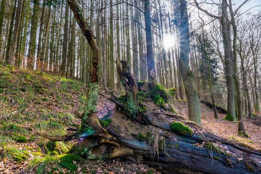 Wald und Wurzel in der Mettelshahner Schweiz am Wiedweg
