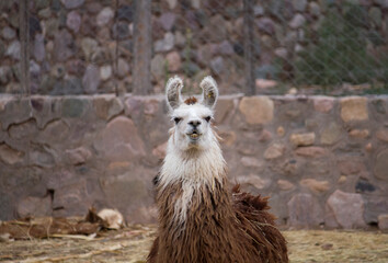 Andean wildlife. Portrait of a llama kept in captivity. Its brown and white fur, long neck, alert ears and smiling muzzle, looking at camera.
