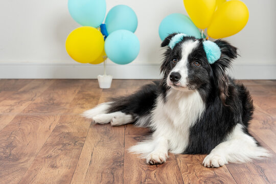 border collie dog lying on the floor with ballons at background
