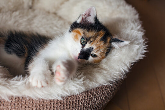 Cute Little Kitten is lying on a comfort Bed. Calico cat - Tricolor cat (orange-red, white and black). Adoption a tricolor cat can bring a luck and good fortune. Tricolor cat is a lucky charm.