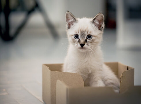 A kitten with blue eyes sits in a cardboard box.