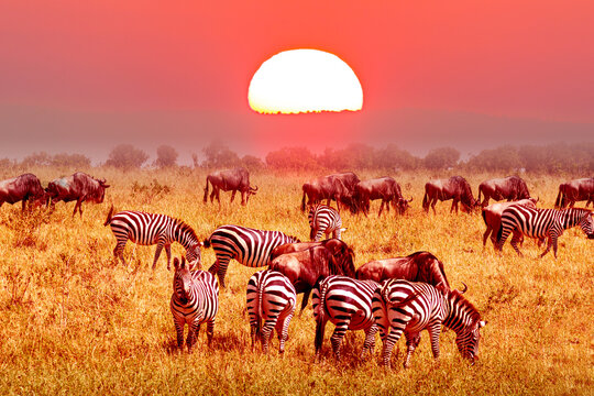 Zebra and wildebeest groups with amazing red sunset in african savannah. Serengeti National Park, Tanzania. Wild nature african landscape and safari concept