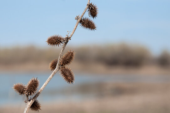 Dry thorn Xanthium strumarium rough cocklebur in steppe on blurred background