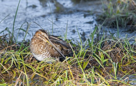 wilson's snipe (Gallinago delicata) sleeping peacefully in small patch of grass at waters edge, eyes closed, head tucked, water background