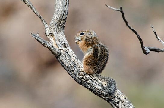 Harris' Antelope Squirrel (Ammospermophilus harrisii)