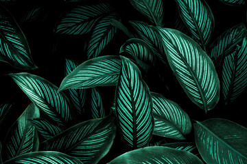 Wall Mural - closeup nature view of tropical leaf background, dark nature concept, tropical leaf