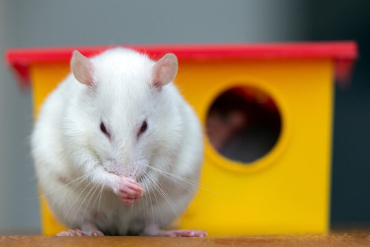 White funny domestic pet rat near yellow plastic toy house.