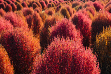 Pink summer cypress field. Autumn of Gaetgol Eco Park in Siheung, Korea