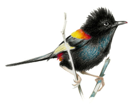 Red backed fairy wren sitting on a branch. Color pencil drawing