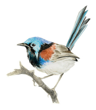 Lovely fairy wren (malyur) sitting on a branch. Color pencil drawing