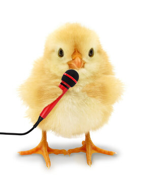 Cute chick is holding microphone funny conceptual photo