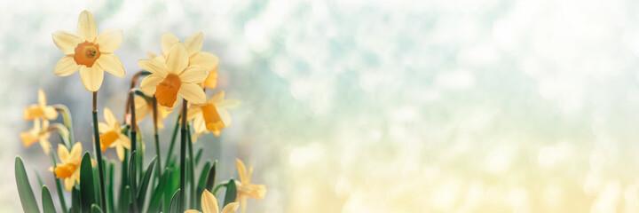 Obraz Daffodil flowers on bokeh background - fototapety do salonu