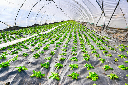Early vegetable growing in a greenhouse, salad plants covered with greenhouse film. Baden Baden. Baden Wuerttemberg, Germany