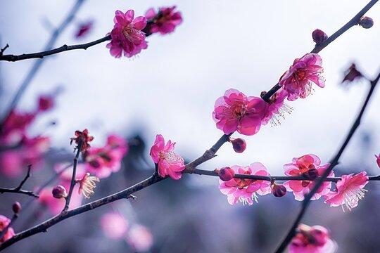 ソフトフォーカスのピンク色の紅梅の写真 福島県福島市の花見山にて
