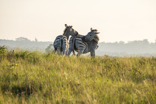 Zebra mother and her baby calf grazing on safari on a hot summer's day in South Africa