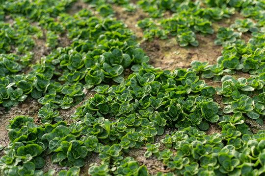 Feldsalat Anbau im Freiland, erntereife Blattrosetten stehen auf dem Feld.