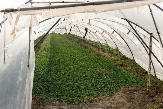 Feldsalat Anbau im Folientunnel, geschützte Balttrosetten  fertig für die Ernte.