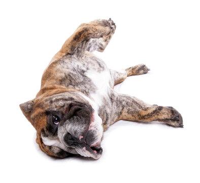 english bulldog 4