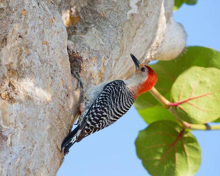 Adult male red-bellied woodpecker (Melanerpes carolinus), clinging to tree, Key Vaca, Marathon, Florida Keys, Florida, United States of America, North America