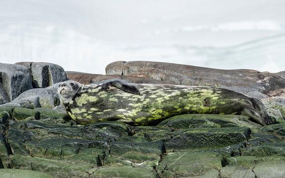 Crabeater seal camouflaged in algae, Antarctica, Polar Regions