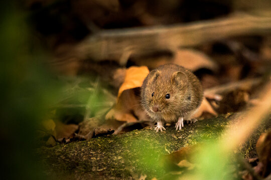 A bank vole sat on a log on the forest floor