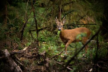 A roe deer Buck in woodland eating a fern
