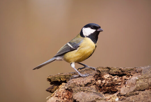 Great tit bird, songbird sitting on a branch in the garden