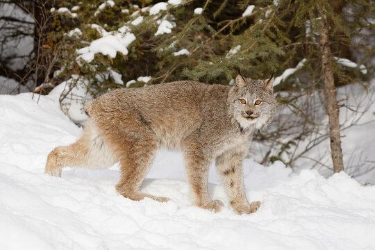 Canada lynx in winter.