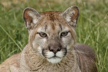 Mountain Lion, Puma.