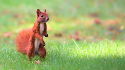 Red squirrel on green grass. Cute Eurasian red squirrel (Sciurus vulgaris) standing on its feet on green grass with blurred out of focus background on sunny summer day.