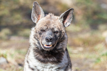 Close-up portrait of the striped hyena. Smiling furry arabian hyena (Hyaena hyaena) with large ears and open mouth.