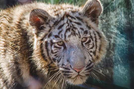 Royal White Bengal Tiger Cub Face Shot