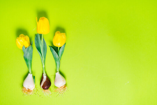 Fresh tulips with bulb on green background