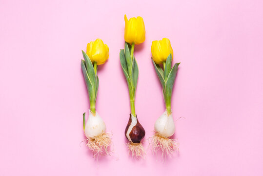 Fresh tulips with bulb on pink background