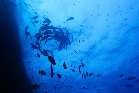 Group of barracudas and other fishes swim in school in circle under water surface