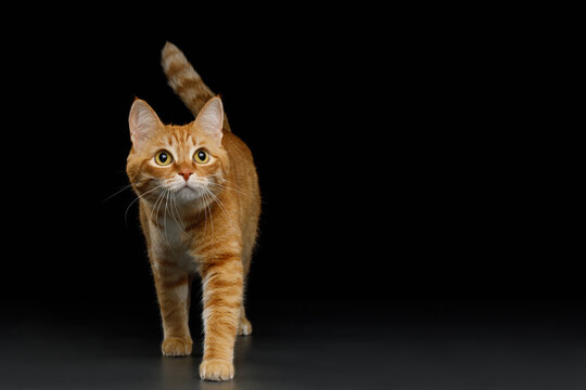 Crouching ginger cat looking up on isolated black background, front view