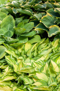 Hosta also known as plantain lily a spring and summer flowering perennial herbaceous flower plant
