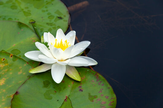 Water lily a summer flowering plant with white summertime flower from June until September and commonly known as nymphaea, stock photo image
