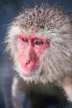 Portrait of a Japanese macaque at the Jigokudani monkey park, Nagano, Japan