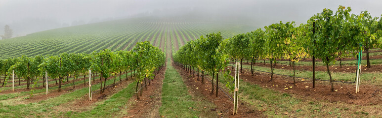 Wall Murals Vineyard A panorama image of a vineyard on a foggy day near Salem Oregon
