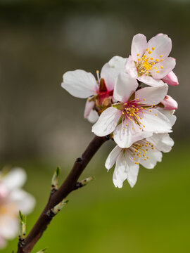 almond blossom in a park in Madrid