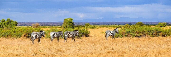 flock of zebras in amboseli national park