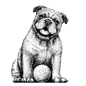 Bulldog with the ball. Black-and-white, graphic portrait of an English bulldog in a sketch style. Digital vector graphics.