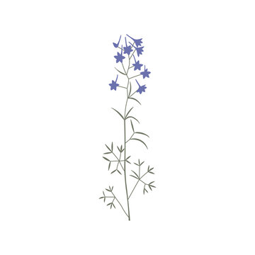 Vector color hand drawn illustration with Consolida regalis. Minimalist Flower and herb. Wildflower for logo design, tattoo, postcard