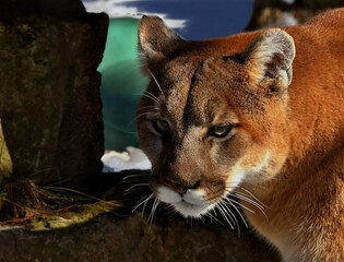 The cougar (Puma concolor)captive animal in Zoo, is american native animal,known as puma,catamount,mountain lion,red tiger or panther.