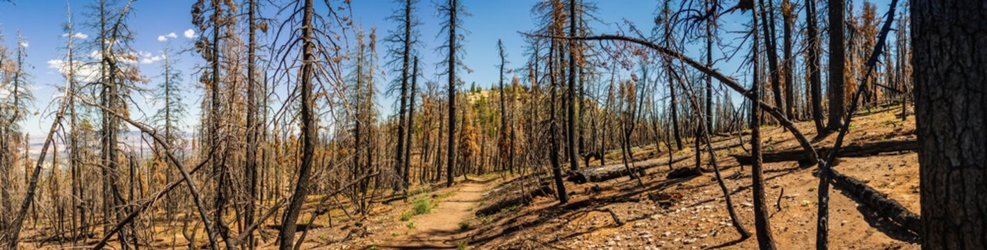 Panorama shot of dead trees in burned forest in Bryce canyon national park at sunny day in Utah, america