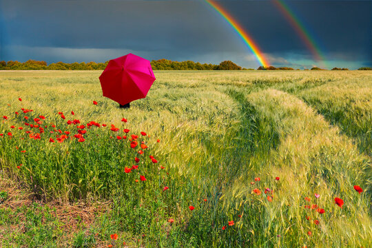 Summer ripening wheat field with lonely red umbrella under cloudy thunderstorm sky with double rainbow